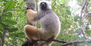Golden Sifaka 1